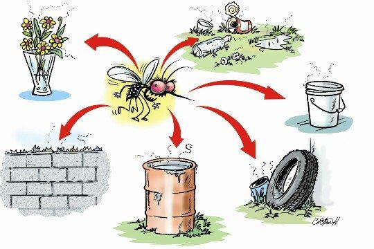 Por qu es importante eliminar los criaderos del mosquito for Como eliminar los mosquitos del jardin