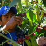 El café de Panamá Ninety Plus® alcanza un nuevo precio récord a USD 10.000 el kilo