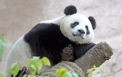 Hikvision provee cámaras de alta resolución al Zoológico de Moscú para la observación de pandas